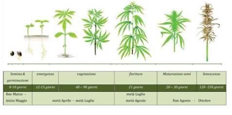ciclo vegetativo
